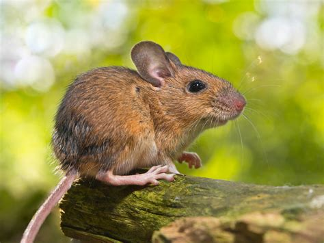 apodemus sylvaticus wood mouse