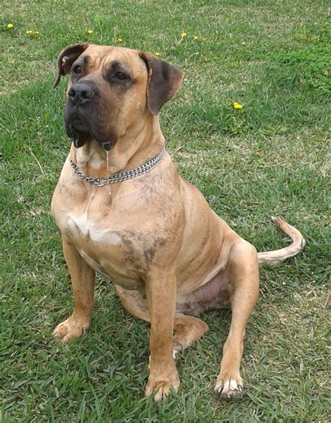 presa canario mix with rottweiler 201 best images about presa canario on rottweiler mix puppys and bull