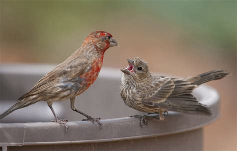 house finch baby birds esciencecommons doing the math for how songbirds learn to