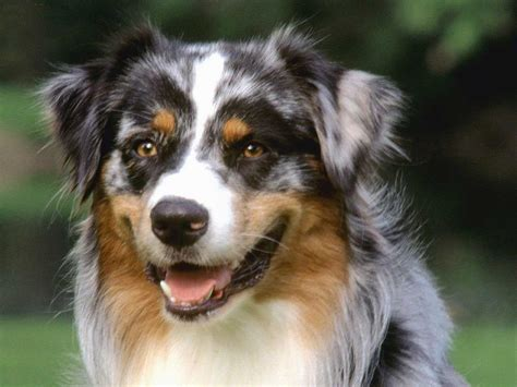 aussie breed easy to breeds