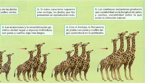 imagenes de las jirafas de darwin conceptos err 243 neos m 225 s comunes sobre la evoluci 243 n y la