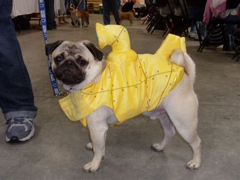 best pug costume 137 best images about pugs on chugs pug and pug costumes