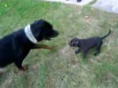 rottweiler vs pitbull pit bull vs rottweiler vidoemo emotional unity