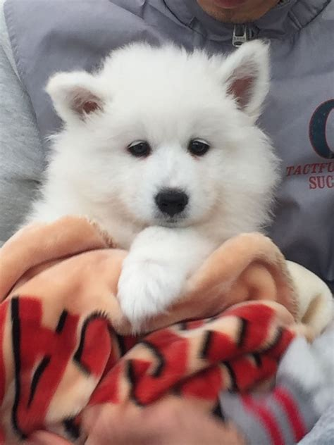 samoyed puppies for sale colorado samoyed puppies for sale coventry west midlands pets4homes