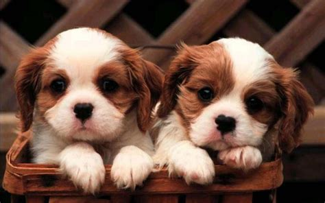 5 in 1 puppy puppy wallpaper android apps on play