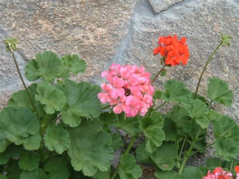 how to grow geranium plant care houseplant 411 how to identify and care for houseplants