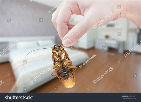 cockroach bedroom womans hand holding cockroach on bedroom stock photo