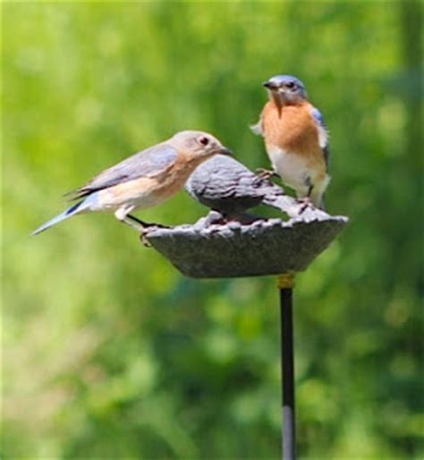 wild birds unlimited photo share eastern bluebirds