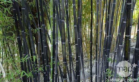 Mon Bambou Devient Jaune by Bambou Noir Phyllostachys Nigra Jardinerie Truffaut