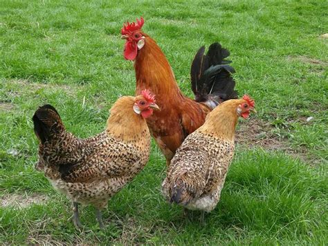 central i m interested in pullets of the following
