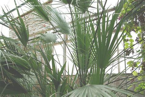 Luthy Botanical Garden Plantfiles Pictures European Fan Palm Mediterranean Fan Palm Chamaerops Humilis By Palmbob