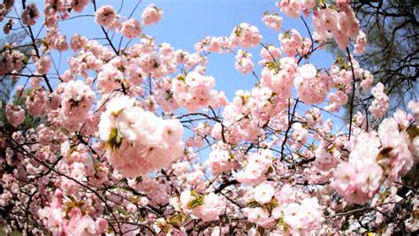 sunlight sakura tree japanese cherry blossom shinjuku gyoen national park nature rural tokyo