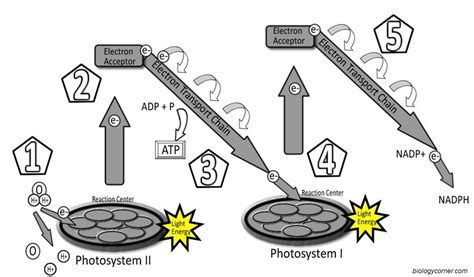 electron energy and light answers photosystems labeling