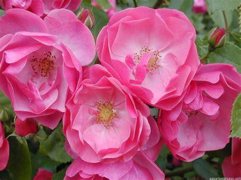 imagenes de flores y rosas image gallery imagenes flores y rosas