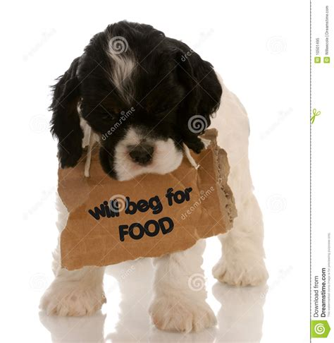puppy begging puppy begging royalty free stock photo image 10501495