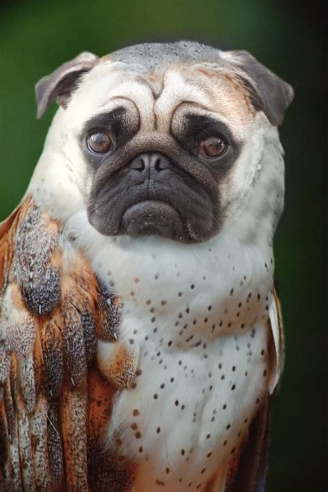 pug hybrids pug owl hybrid animals