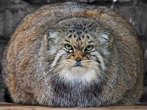 Inidia Cat 23 asian pallas munul has the thickest fur of all wildcats