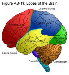 what color is the brain the cortices technique dr harrison go from