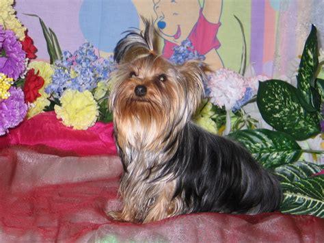 teacup yorkie breeders ontario yorkie breeders ontario dogs breed sierramichelsslettvet
