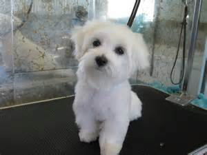male maltese dog haircuts