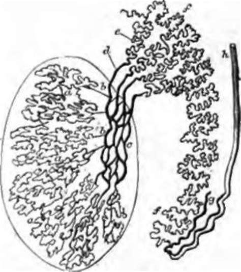 seminiferous tubules diagram diagram free engine image for user