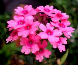 verbena flowers pictures meanings lemon verbena flower
