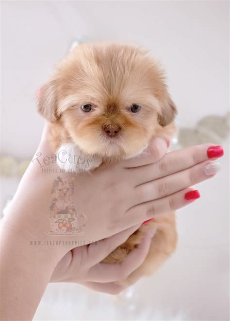 teacup shih tzu puppies for sale in south florida teacup parti terrier puppies florida teacups puppies boutique