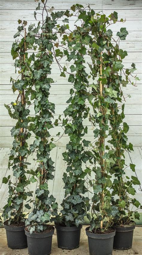 Hedera Helix Zimmerpflanze by Efeu Hibernica Hedera Helix Hibernica G 252 Nstig Kaufen