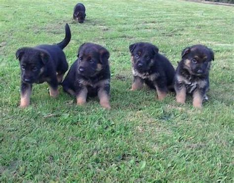 puppies for sale chico ca outstanding german shepherd puppies now available contact at 810 867 0740 chico for