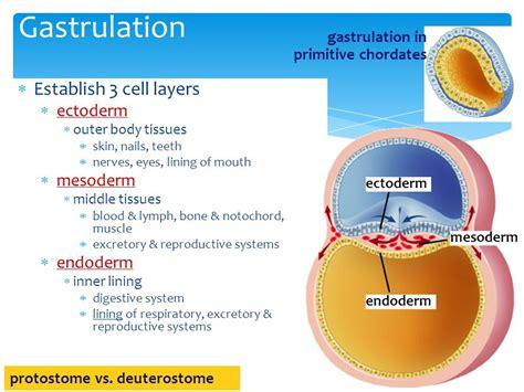 pattern formation ectoderm human development ppt video online download