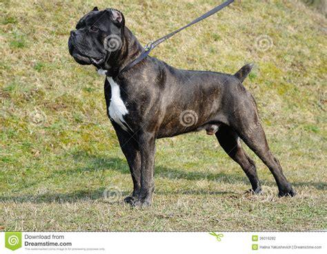 alimentazione boxer adulto italiano corso bast 243 n perro fotograf 237 a de