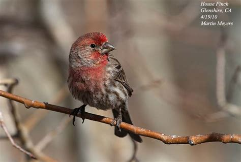 california house finch sierrabirdbum