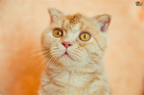 Unusual and Rare Cat Breeds   Pets4Homes