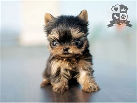 yorkies size photo