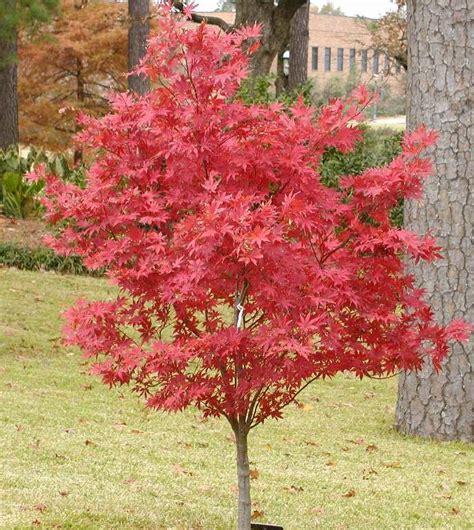 japanese maple tree leaves photosynthesis acer palmatum suminigashi the site gardener