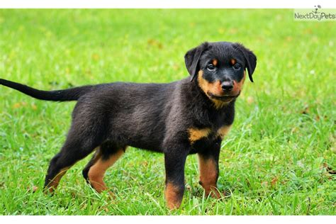 rottweiler breeders south florida lennox rottweiler puppy for sale near south florida florida 699cdaa1 0c91
