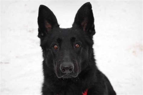 black german shepherd black german shepherd german shepherds pinterest