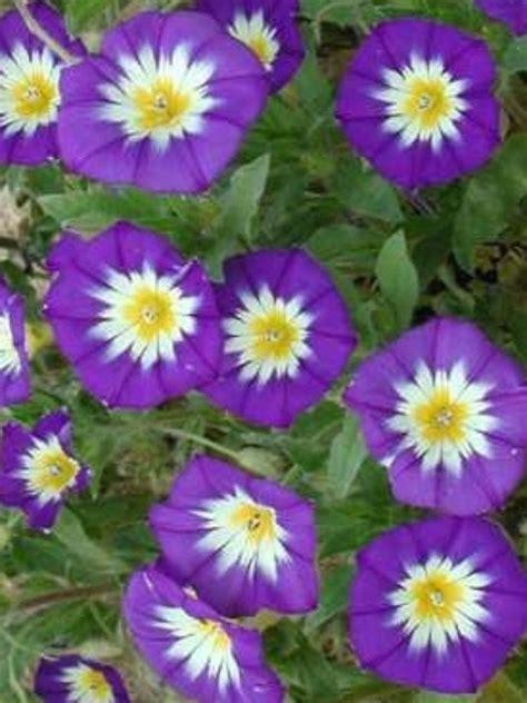 25 dwarf ensign royal morning glory seeds perennial