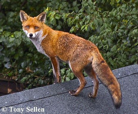 google images fox 105 best animals foxes images on pinterest foxes red