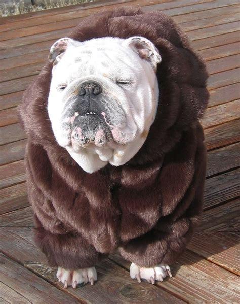 Nsweater Buldog order bulldog faux mink fur coat bulldog custom