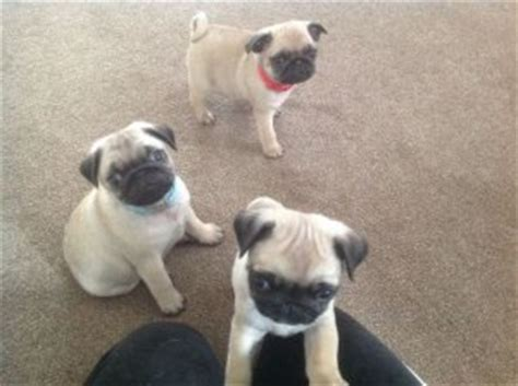 puppies for adoption jacksonville fl priceless fawn pug puppies for adoption jacksonville fl free classifieds in usa