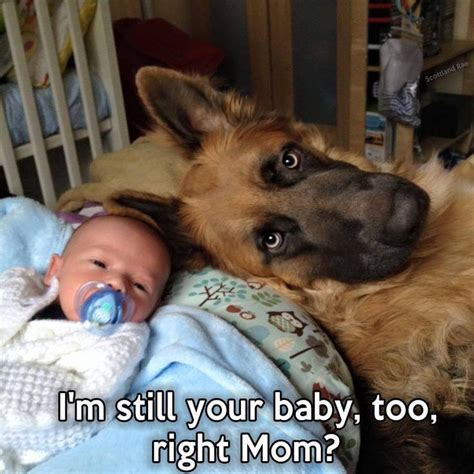 Dog Mom Meme - best 20 baby german shepherds ideas on pinterest
