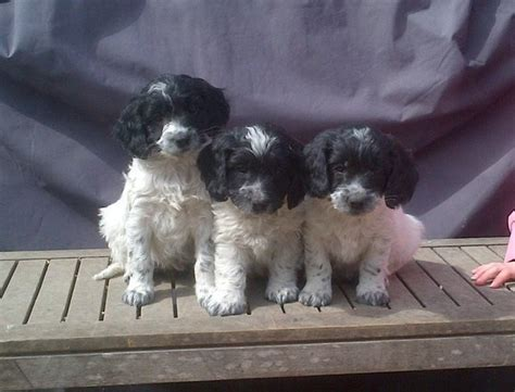springerdoodle puppies for sale springerdoodle puppys for sale dogs