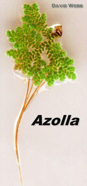 Jual Kolam Terpal Magelang cara budidaya azolla microphylla yang mudah dan bermanfaat