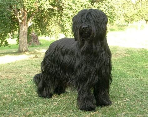 breeds with hair briard hair breed desicomments