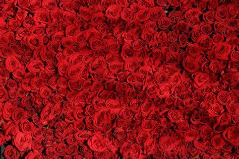 Rose pink wild flowers 4k schreiners gardens blue iris flower 4k ultra