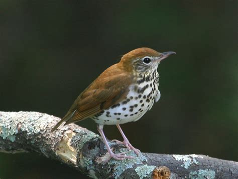 birds wood thrush