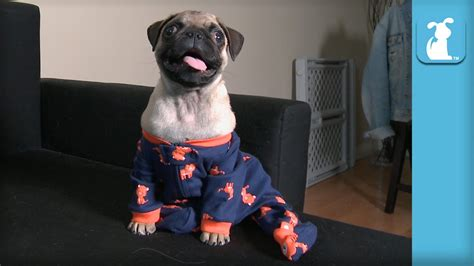 pug onesie australia puppy enjoys being a pug of fashion doovi