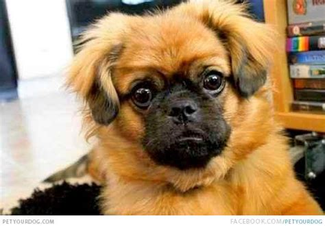 haired pug silky pug pictures wacky or pictures and