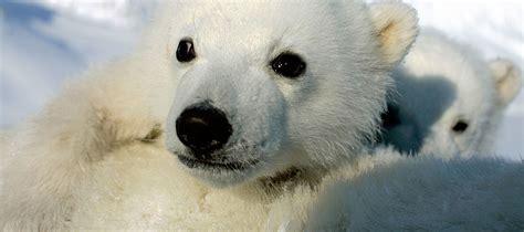 oso polar oso polar 080506902x oso polar wwf espa 241 a